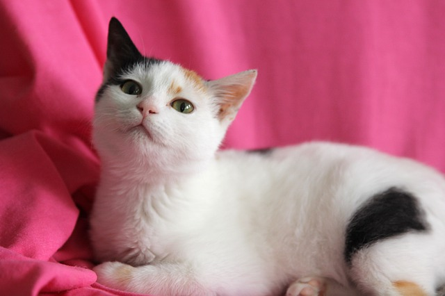 Le chat ; un animal de compagnie adorable !